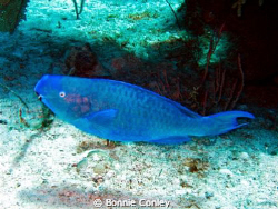 Blue Parrotfish seen in Grand Bahamas at the Shark Juncti... by Bonnie Conley 